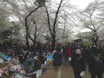 uenokoen_hanami01